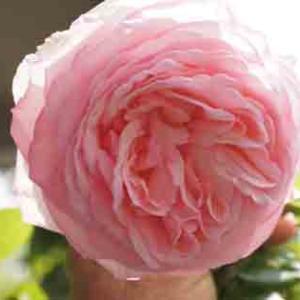 世界平和へ一輪献花! 令和元年 10月31 木曜日 晴