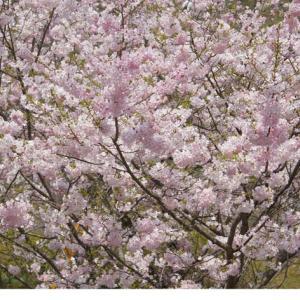 世界平和へ一輪献花! 平成31年4月4日 木曜日