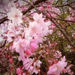 世界平和へ一輪献花! 平成31年4月11日 木曜日