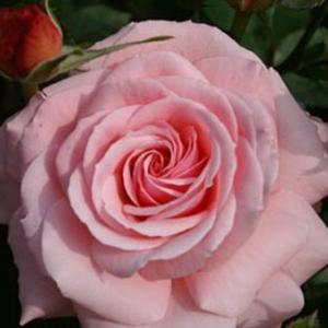 世界平和へ一輪献花! 令和元年6月1日 土曜日