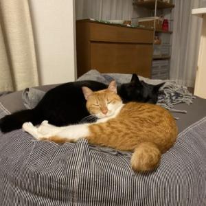 【イタリアに行こう♪33】6日間の旅行中ネコたちはどうしていたか。留守番ストレスでピーターに異変が!