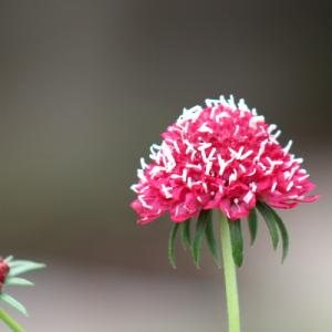 ご近所さんの花