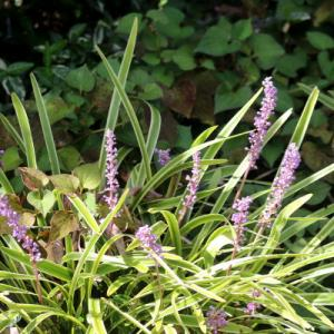 キジカクシ科の花