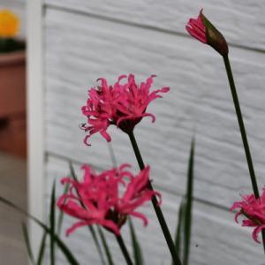 お隣さんの花
