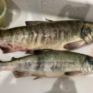 2020 道南 鮭釣り情報 ④