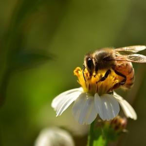 今日はミツバチの日
