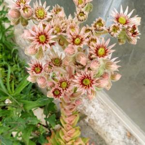 多肉植物の開花・センペルビブム