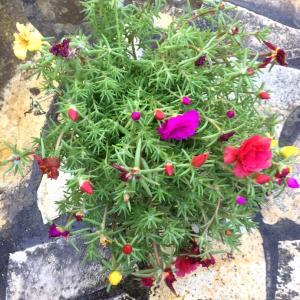 土曜の朝の庭仕事。マツバボタンを植えました。