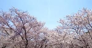 しずかに桜満開 20200405