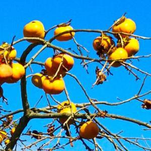ウォーキング途中にカキ実っと~る…つらいことがあったので今夜は柿の種をつまみにヤケ酒であ~る?