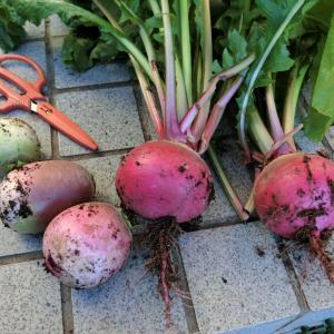 野菜収穫と キウイの収穫