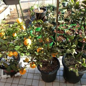 柑橘の収穫は予定に合わせて。大根はどうしようかなあ。