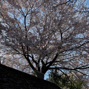 それでも桜は咲いている