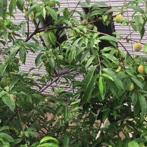ひとりごと(2):裏庭の桃は、半端ない!