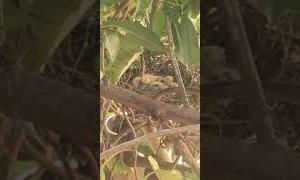 ひとりごと(52):鳩のヒナちゃん、朝は二羽でお留守番