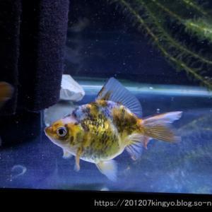 現在のお気に入り金魚