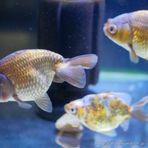 薬浴後の金魚たち&金魚カテゴリー撤退
