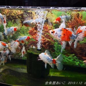 「金魚屋あいこ」さん訪問 part1・2019.1.12