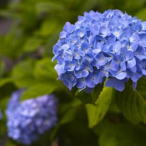 そろそろ紫陽花の季節