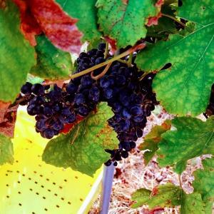 ワイン作り体験⭐︎テキサスで人気のワイナリー【Messina Hof】