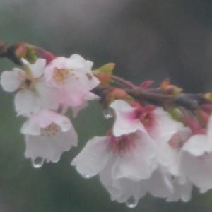 ◇ 桜 photo <時の彼方に> senjinsennin