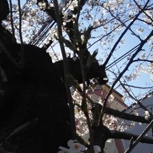 桜を愛でに。高瀬川沿い