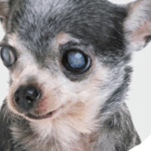 愛犬の目が白く濁ってきて白内障は心配です #犬 #Dog