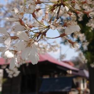 [山形市] 長谷堂城跡公園 400年の時を経て「花見の名所」へ🌸🍂