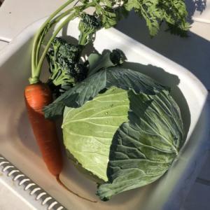 キャベツ、茎ブロッコリー12週目。キャベツ収穫しました!