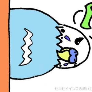 初めての水浴び!セキセイインコ「ヨリ」の当時の様子!