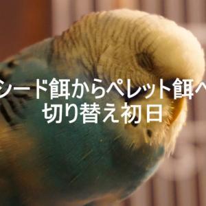 【動画】シード→ペレット餌へ切り替えを始めたわが家のセキセイ【#1】