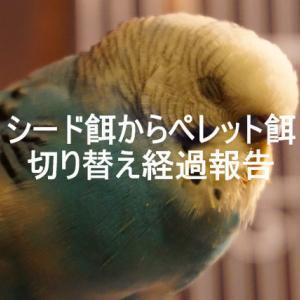【動画】シード→ペレット餌へ切り替えを始めたわが家のセキセイ【#2】