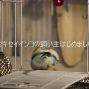 【動画】わが家のセキセイインコの動画紹介【#1】