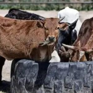 ゴア州の牛さんは肉が好き!!!???