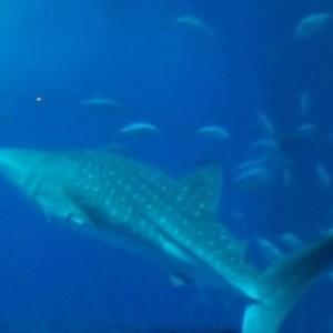 【沖縄美ら海水族館(ちゅらうみすいぞくかん)】 ジンベエザメを見るなら絶対にココ! 沖縄旅行に必ず組み込んで!