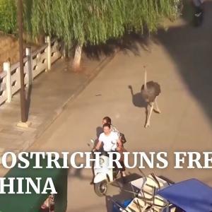 【海外の反応】中国雲南省でペットのダチョウが脱走、走り回る。海外「帰宅時の俺かな?」