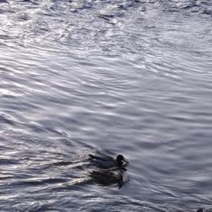 京都 眼科の旅 今日の鴨川