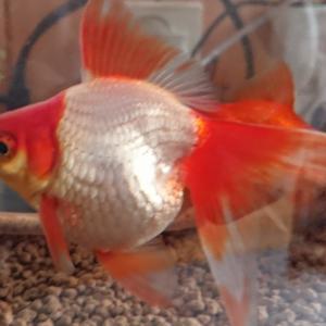 真冬の金魚