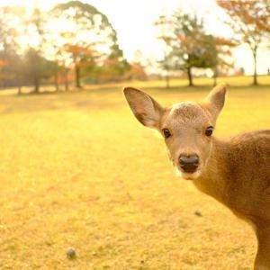 早朝、奈良公園へ