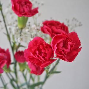 花と緑のある暮らし|カーネーション
