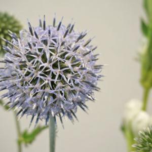 花と緑のある暮らし|ルリタマアザミ