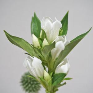 花と緑のある暮らし|リンドウ(白)