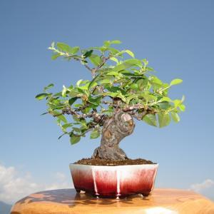 盆栽 から 庭木 に