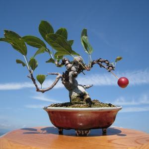 実 物  盆 栽