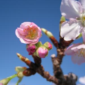 河津桜 まつり