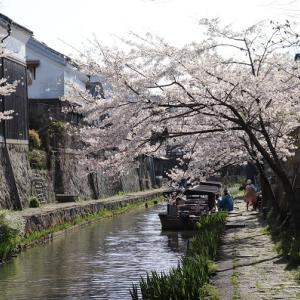 近江八幡 水郷の桜
