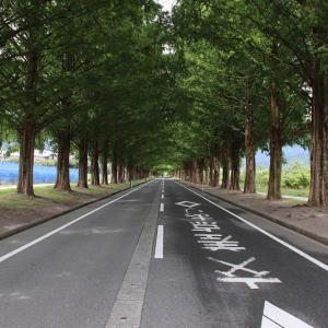 メタセコイア並木 緑のトンネル