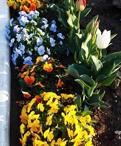 春なので植木を植えてみた