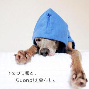 イタグレ服とBuono!の暮らし|Italian Greyhound Buono!