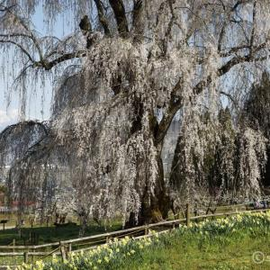 高山村しだれ桜巡り②_水中のしだれ桜 ~鹿島神を祀った信州の滝桜かな~